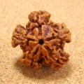 [五芒星・星型]インド菩提樹スタールドラクシャビーズ(穴口あり/貫通なし)