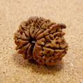 【激レア】インド菩提樹ルドラクシャ14面・14ムキ+ガネーシャ(穴口あり/貫通なし)