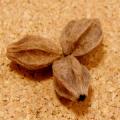 [50個セット]天然草木染めの栴檀・センダンの実のばら売り(ウコン/枇杷/玉葱)