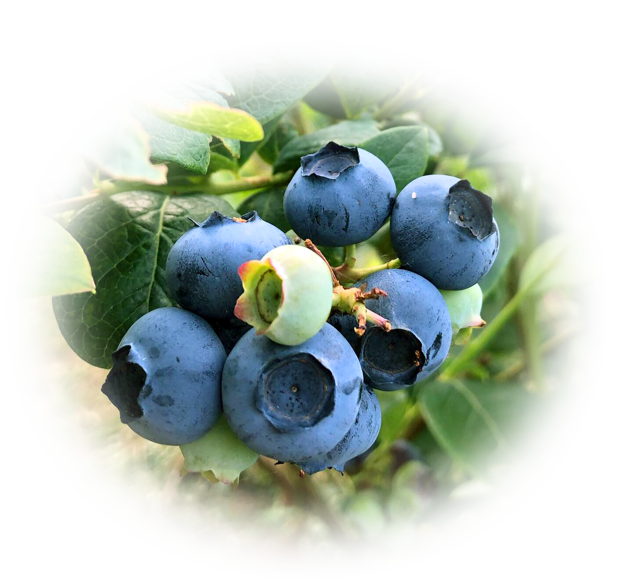 青い宝石 ブルーベリーの実
