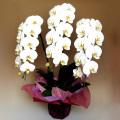 送料無料 法人様に大好評 ワンランク上の上質な胡蝶蘭3本立ち(白色)