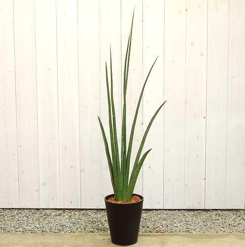 サンスベリア デセルディー10号 販売・通販【大きい観葉植物専門店ガーデントロピカ】