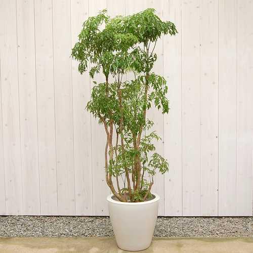 ポリシャス タイワンモミジ10号 販売・通販【大きい観葉植物専門店ガーデントロピカ】