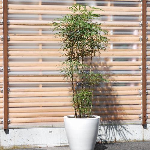 ディジゴセカ(アラレア)10号販売・通販【大きい観葉植物専門店ガーデントロピカ】