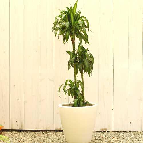 ドラセナ・デレメンシス ハワイアンサンシャイン 販売・通販 大きい観葉植物専門店ガーデントロピカ