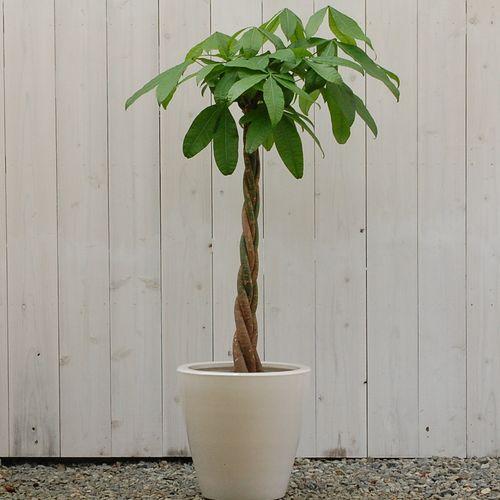 大きい観葉植物専門店 ガーデントロピカ 販売 通販 パキラ