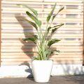 大きい観葉植物専門店 ガーデントロピカ 販売 通販 オーガスタ