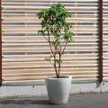 クスノハカエデ 10号(メープルリーフツリー) 『流通の少ない』 品種【2301-210】