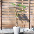 セロウム(セローム)160cm 10号 大きな葉が展開します! 【3401-210-1】