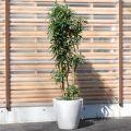 ドラセナ'ソング オブ ジャマイカ'170cm 良品。ギフトにもおススメです【4503-310-1】
