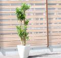 ジャマイカ【大きな観葉植物専門店 ガーデントロピカ】