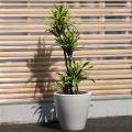 大きい観葉植物専門店 ガーデントロピカ 販売 通販 レモンライム
