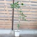 ベンガルボダイジュ【大きな観葉植物専門店 ガーデントロピカ】