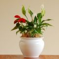 アンスリウム 寄植え 父の日 母の日 花鉢 販売・通販 大きい観葉植物専門店ガーデントロピカ