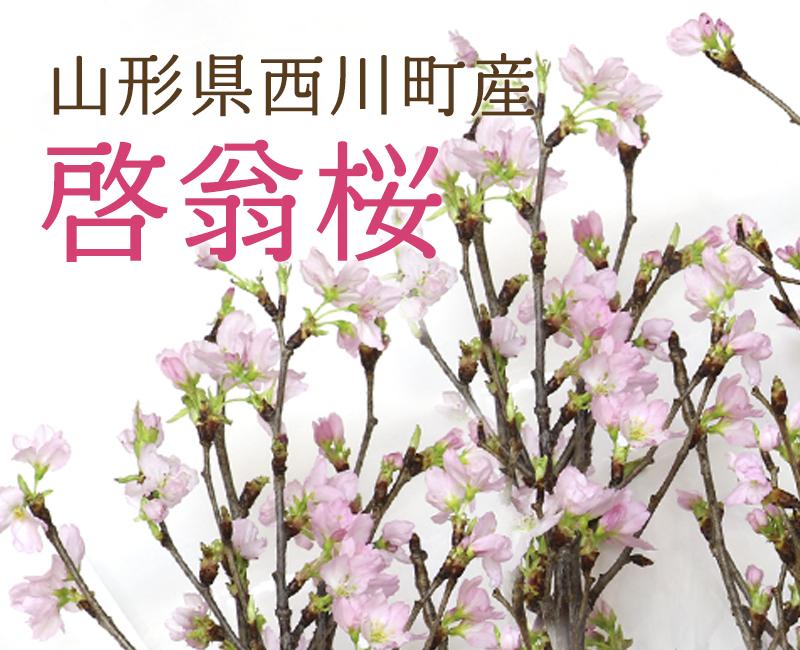 【予約販売】啓翁桜