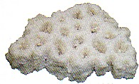 風化造礁サンゴ ミネラル