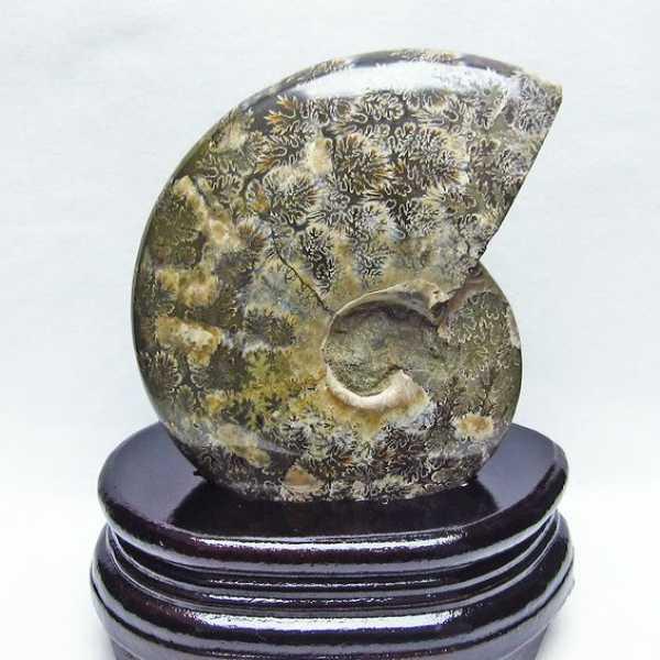アンモナイト化石[T570-3838]