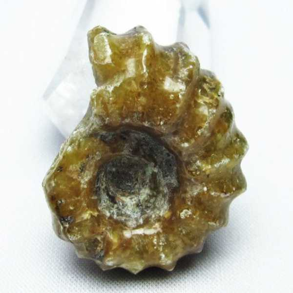 ドゥビレイセラス 化石[T723-1434]