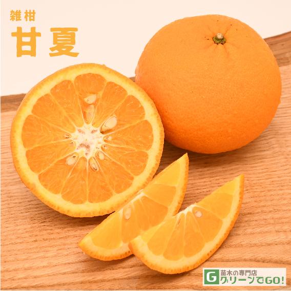 オレンジ 苗木 【甘夏 (あまなつ)】 2年生 接ぎ木大苗