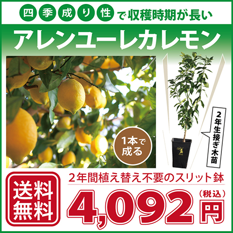 ◆送料無料◆ レモン 苗木 【四季成り性 アレンユーレカレモン】 2年生 接ぎ木 スリット鉢植え