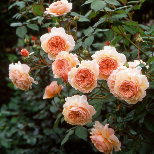 ア シュロップシャイア ラド 大輪 返り咲き