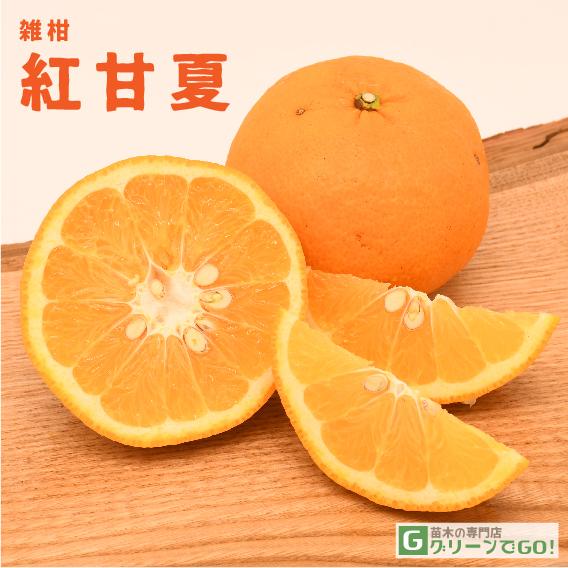 オレンジ 苗木 【紅甘夏 (べにあまなつ)】 2年生 接ぎ木大苗
