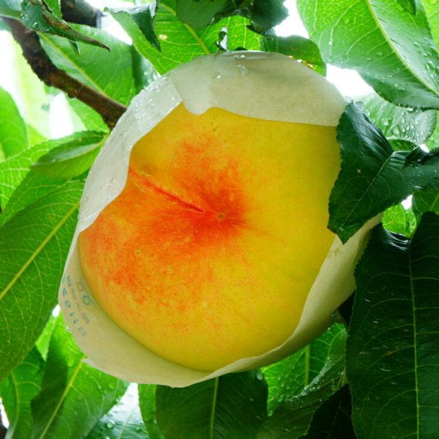 紅清水白桃べにしみずはくとう