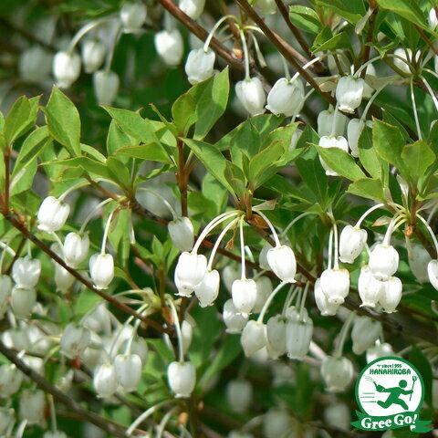 ドウダンツツジ 白花