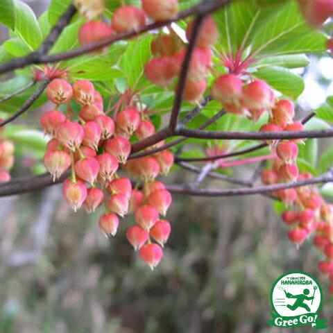 ドウダンツツジ 赤花