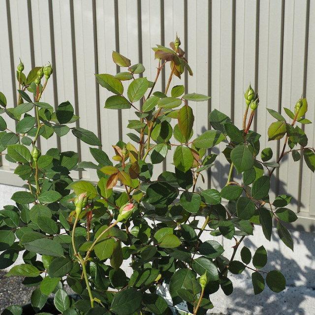 オリビア ローズ オースチン 大輪 返り咲き