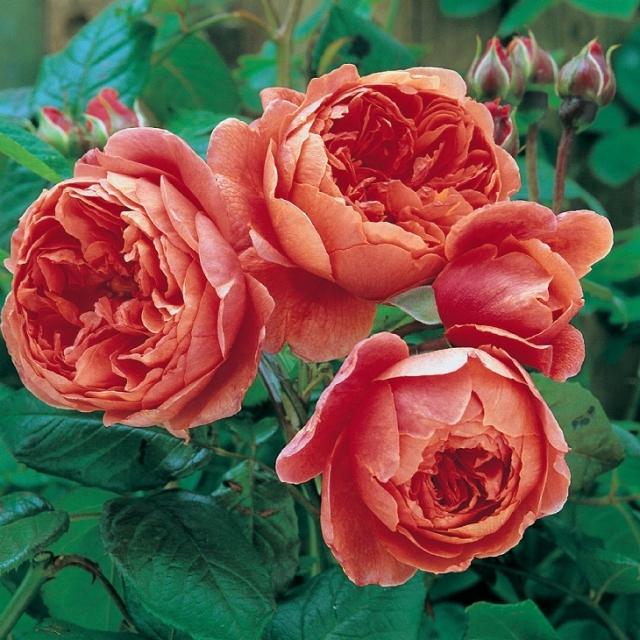 バラ苗 イングリッシュローズ 【サマ ーソング 大輪 返り咲き】 2年生接木大苗 10リットル 鉢植え 薔薇 ローズ