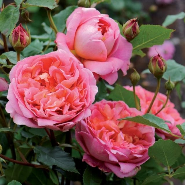 バラ苗 イングリッシュローズ 【ボスコベル 大輪 返り咲き】 2年生接木大苗 10リットル 鉢植え 薔薇 ローズ