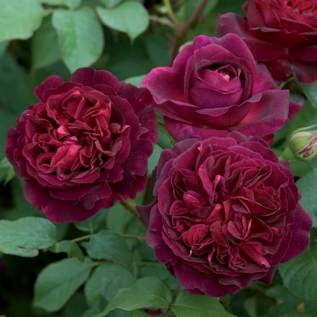 バラ苗 イングリッシュローズ 【ムンステッドウッド 大輪 四季咲き】 2年生接木大苗 10リットル 鉢植え 薔薇 ローズ