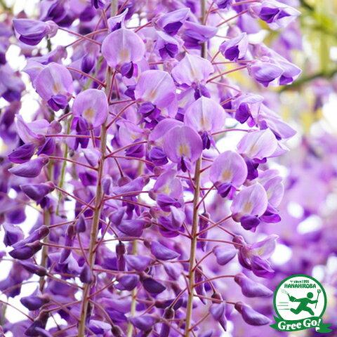 花藤 紫花