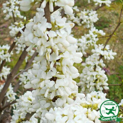 ハナズオウ 白花