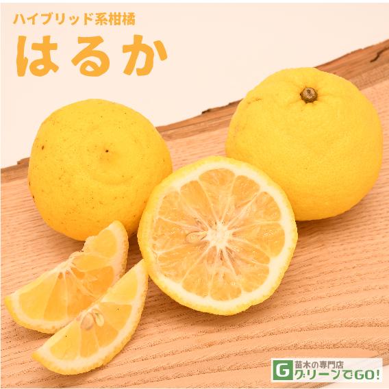 オレンジ 苗木 【はるか】 3年生 接ぎ木 大苗
