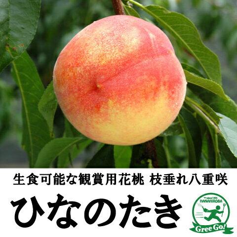 しだれ桃 八重咲き ひなのたき