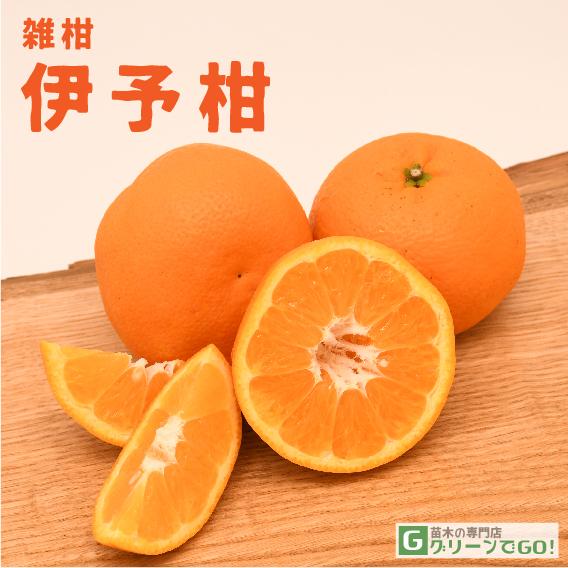 オレンジ 苗木 【伊予柑 (いよかん)】 1年生 接ぎ木 ポット苗