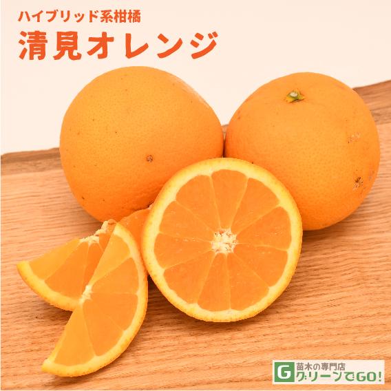 清見オレンジ 苗 【清見オレンジ】 1年生 接ぎ木 ポット苗