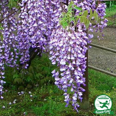 八重 黒竜 濃紫花