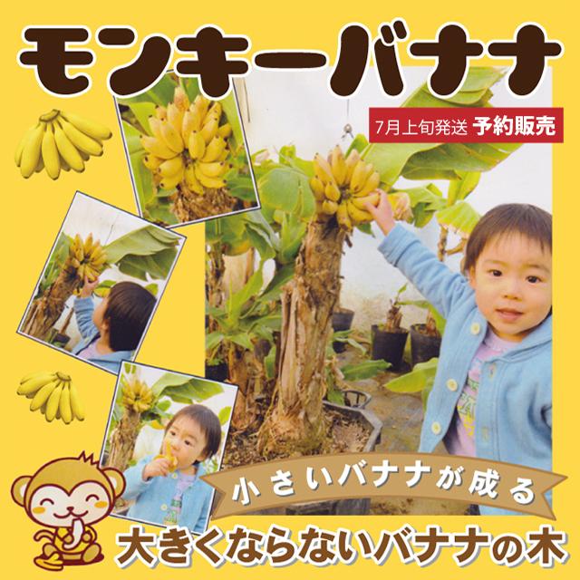バナナ 苗 【矮性バナナ ドワーフ モンキーバナナ】 1年生 ポット苗