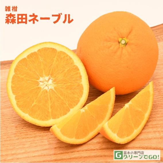 オレンジ 苗木 【森田ネーブル】 3年生 接ぎ木 ポット苗