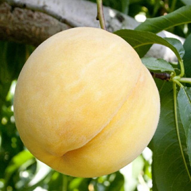 黄金桃 おうごんとう
