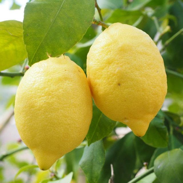 トゲなし リスボンレモン