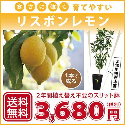 寒さに強い リスボンレモン