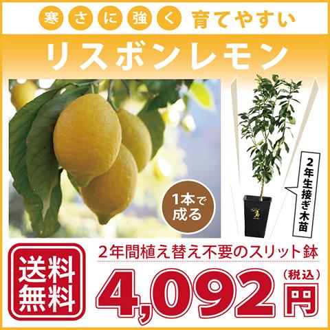 ◆送料無料◆ レモン 苗木 【寒さに強い リスボンレモン】 2年生 接ぎ木 スリット鉢植え