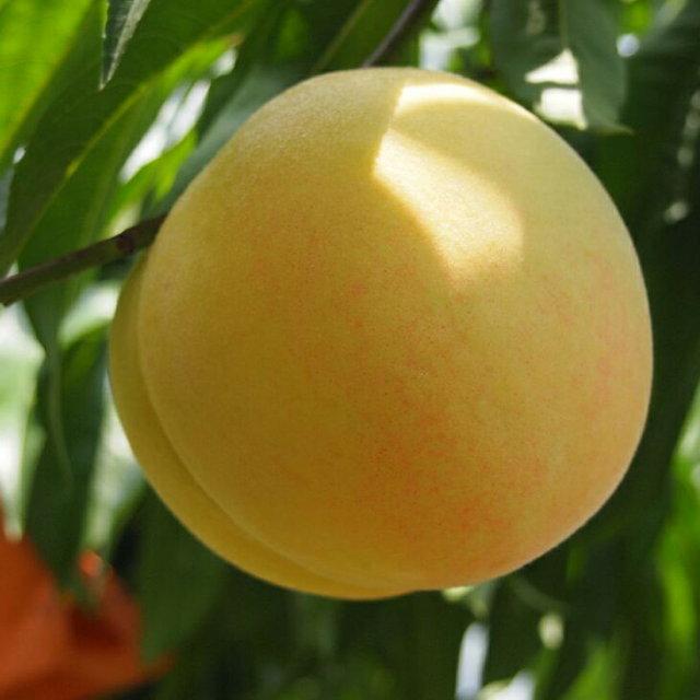 清水白桃 しみずはくとう