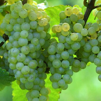 白ワイン用品種 シャルドネ