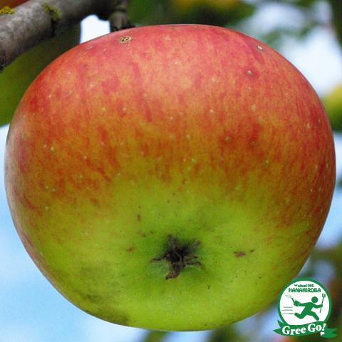 りんご 苗木 【YD(矮性台木) クッキングアップル ブラムリー】 1年生 接ぎ木 ポット苗