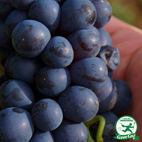 赤ワイン用品種 ピノ ノワール